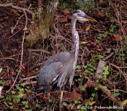 Stately Great Blue Heron (Ardea herodias) who let me get closer than most.