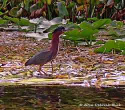 Green Heron (Butorides virescens) ruffling his feathers as we come too close.