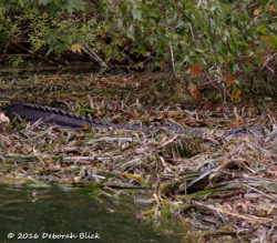 Our biggest gator of the day - 7 or 8 feet - resting in the stream-side vegetation.