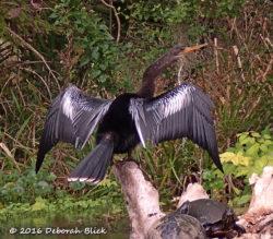 Female Anhinga (Anhinga anhinga) drying her wings with a couple of Cooters.