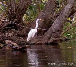Great Egret (Ardea alba) in a classic stance.
