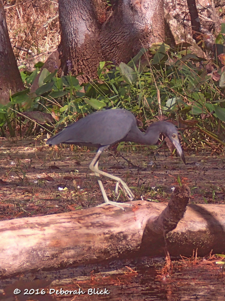 Adult Little Blue Heron looking for fish from a log