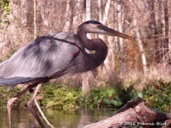 Close up of a Great Blue Heron (Ardea herodias)