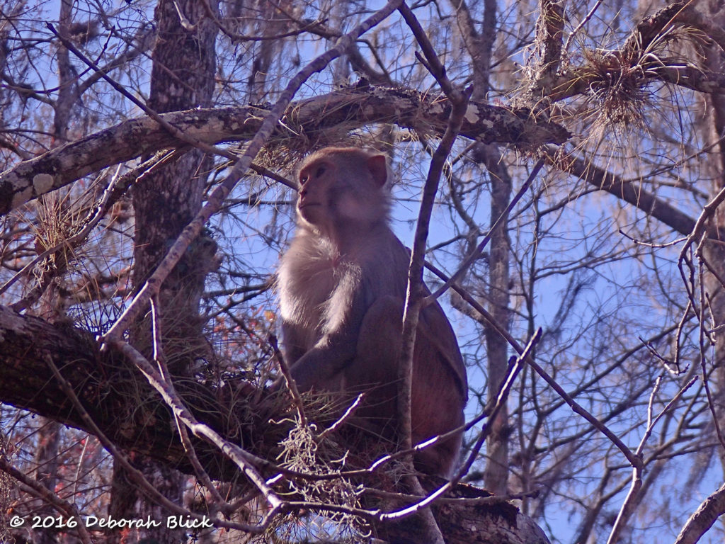 An adult monkey warming in the afternoon sun.