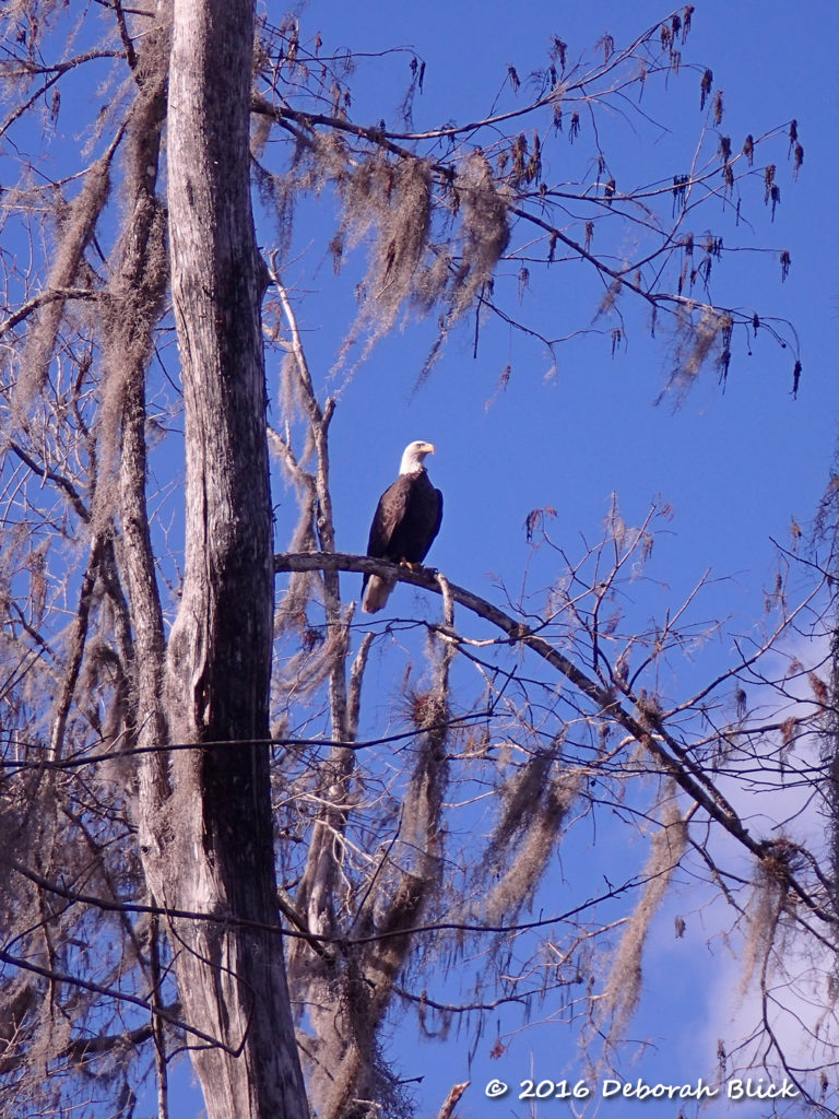 Southern Bald Eagle (Haliaeetus leucocephalus leucocephalus) posing