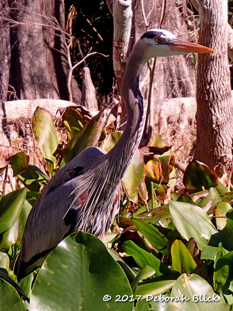 Great Blue Heron (Ardea herodrias)