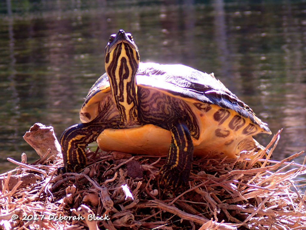 A Cooter sunning on a palm stump