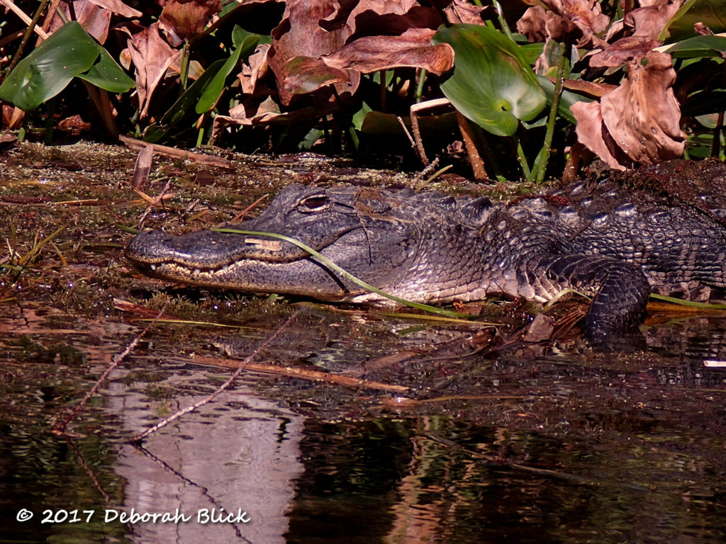 A yound gator sunning on a mat of vegetation