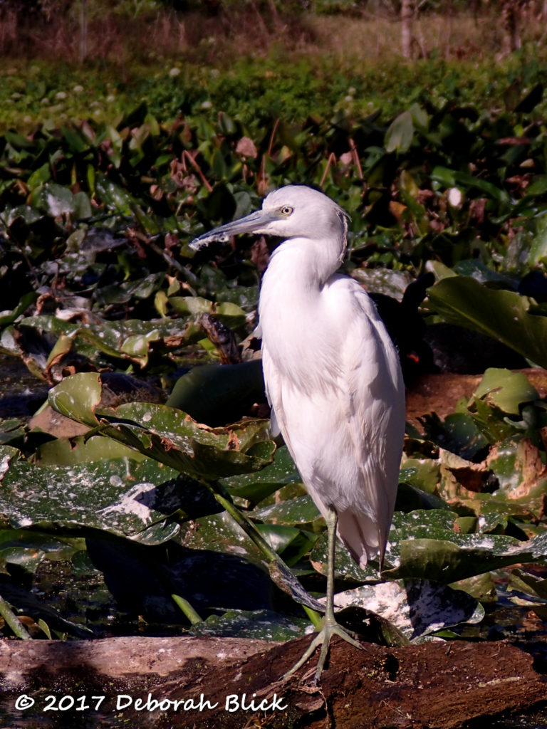 Immature Little Blue Heron (Egretta caerulea)