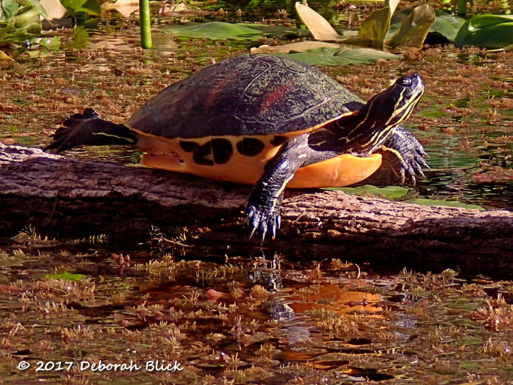 A beautifully patterned Cooter exposing every inch possible to the sun