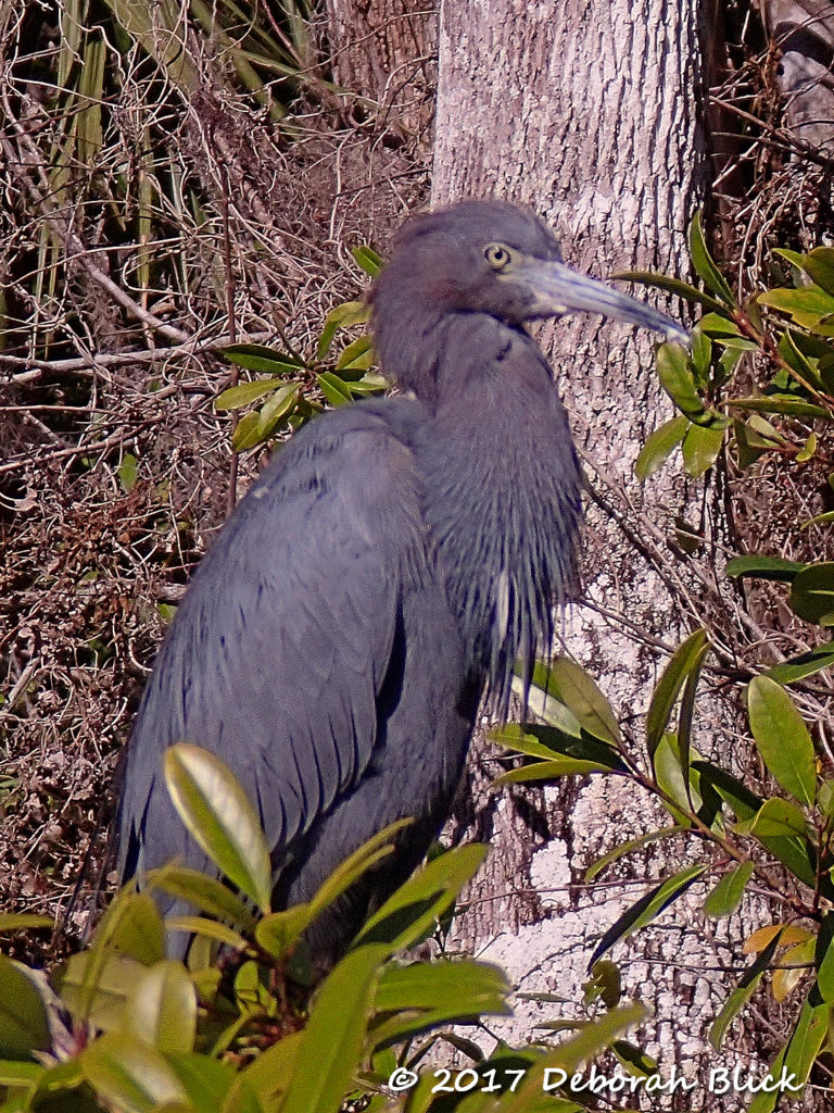 Mature Little Blue Heron with purplish neck feathers