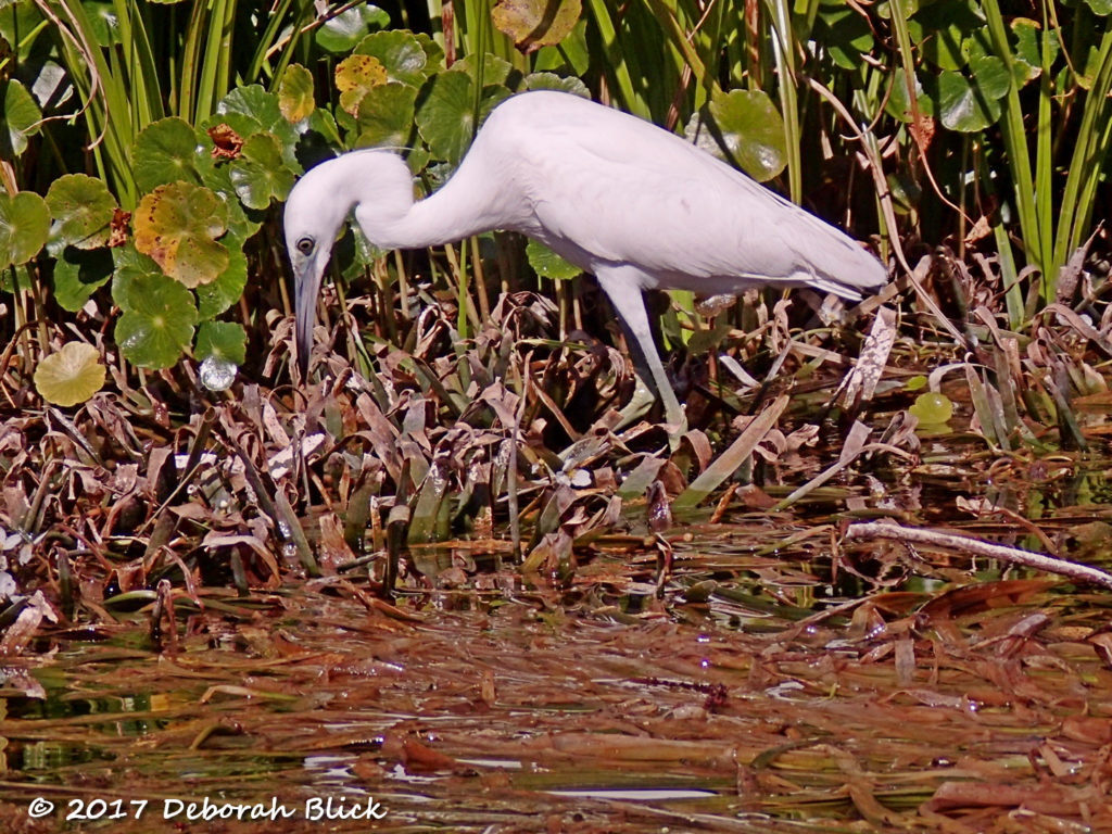 Immature Little Blue Heron in stalking mode