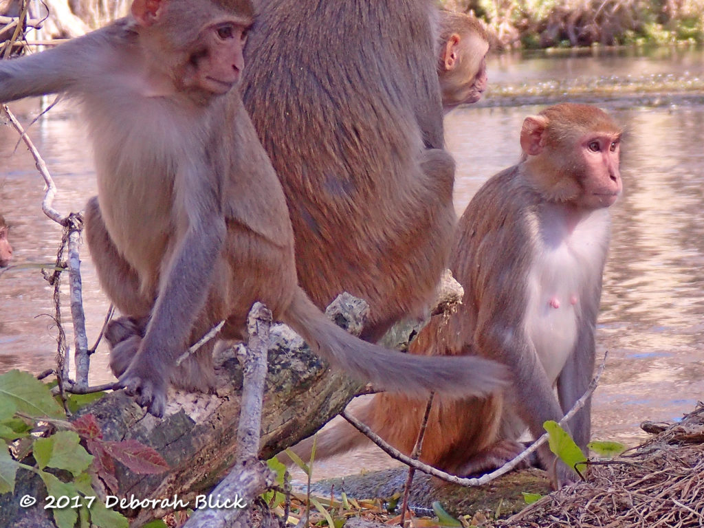 Monkeys waiting out the screaming match before crossing