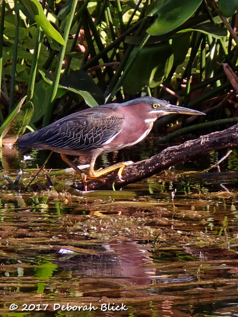 Green Heron (Butorides virescens) looking for dinner