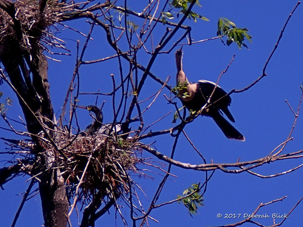Anhinga nesting (Anhinga anhinga). The male is sitting on the nest, the female is on the branch