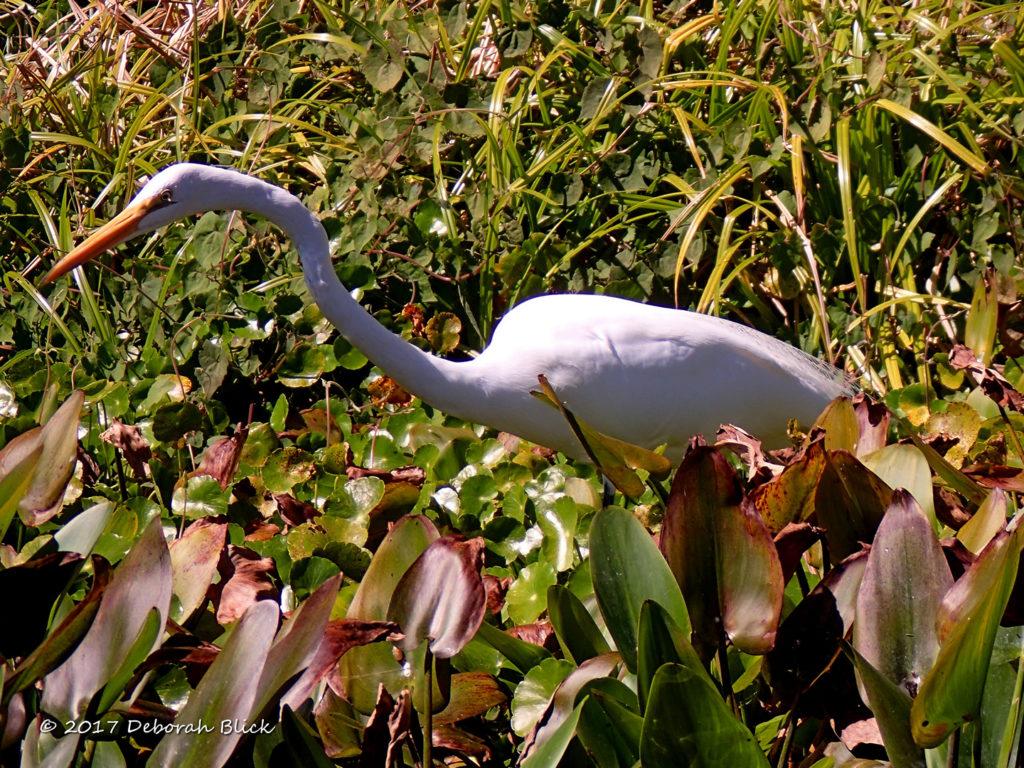 A Great Egret (Ardea alba) stalking amongst the Spatterdock