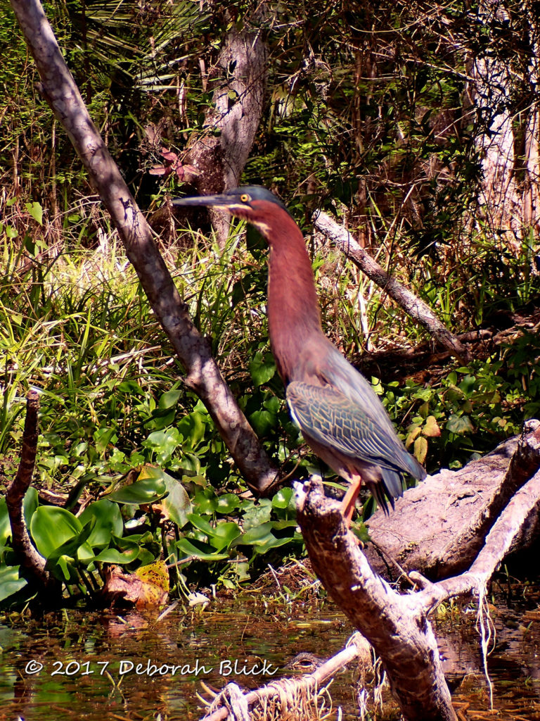A Green Heron (Butorides virescens) raising his neck in alarmed at my presence