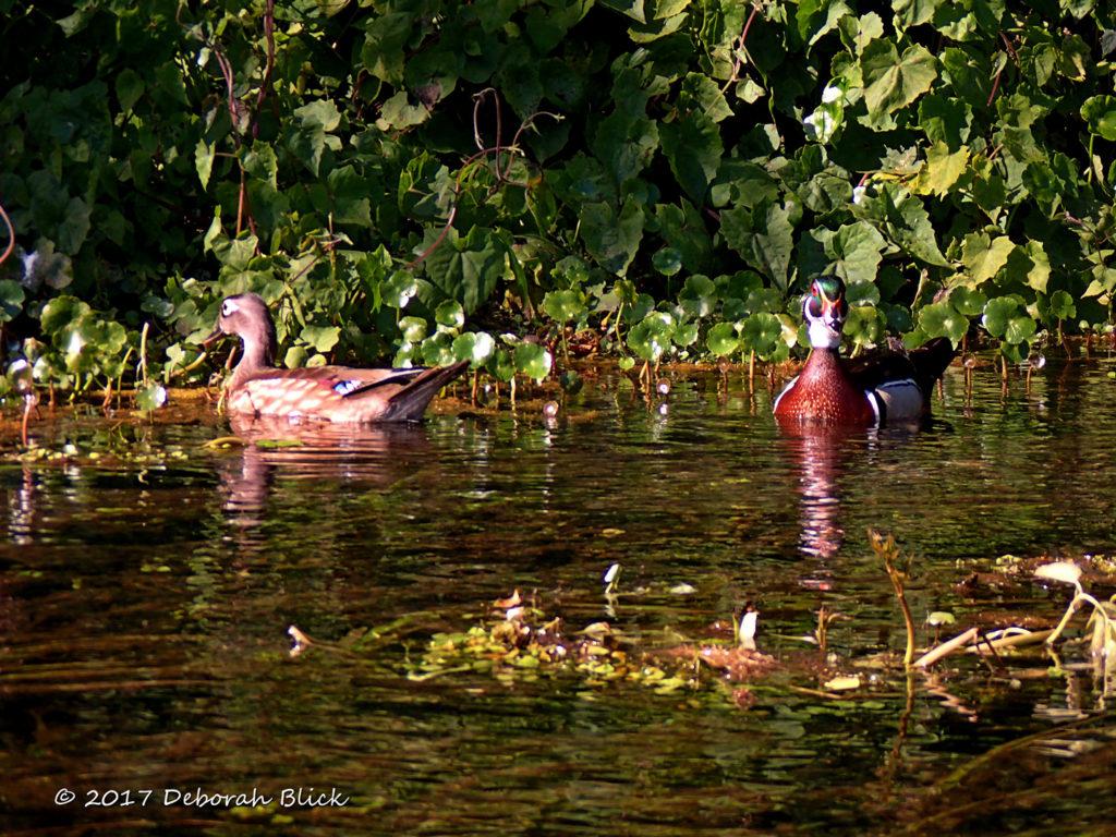 A pair of Wood Ducks (Aix sponsa)