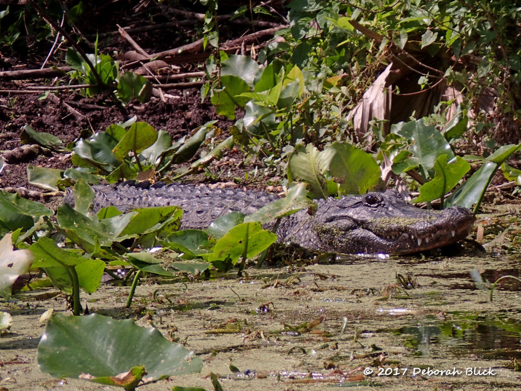 Mamma gator standing guard