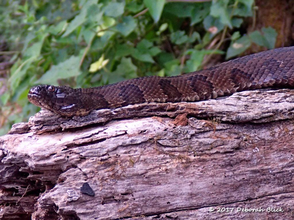 Brown Water Snake (non-venomous, Nerodia taxispilota)
