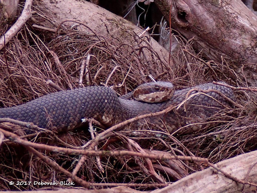 Cottonmouth aka Water Moccasin (venomous, Agkistrodon piscivorus conanti)