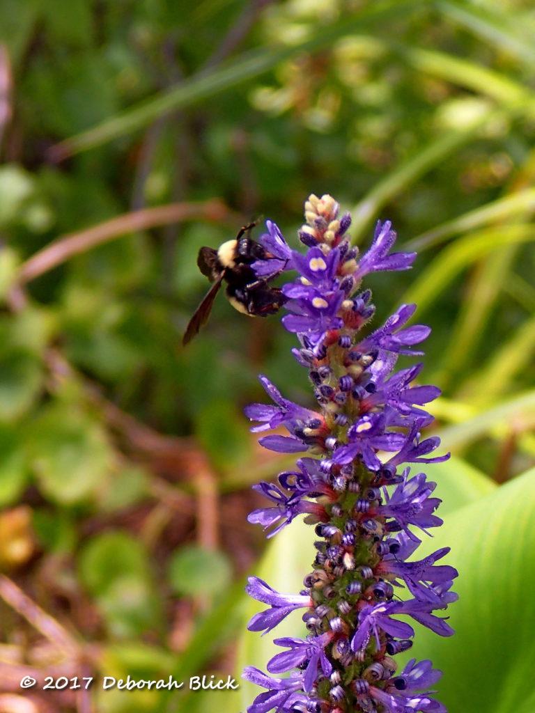 Bumblebee on Pickeralweed