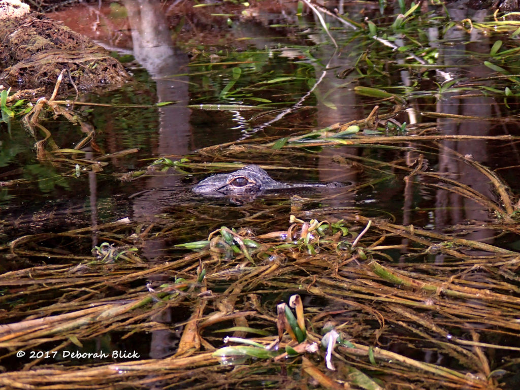 A little gator (about 18 inches) peeking at us from the weeds.