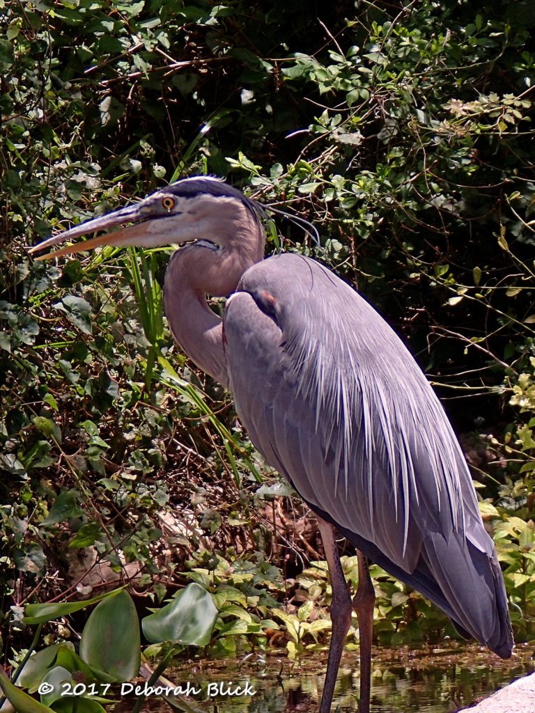 Usually very wary, this stately Great Blue Heron let us get to within about 20 feet of him.