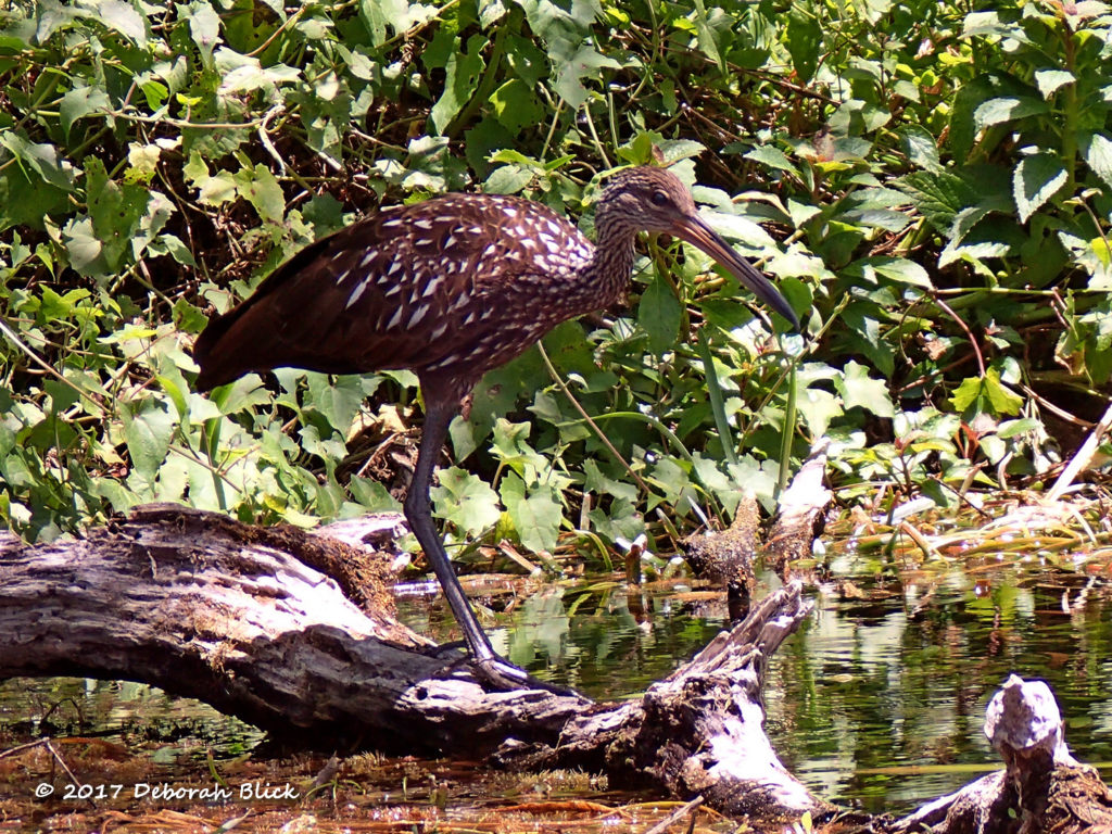 A Limpkin searching for Apple snails