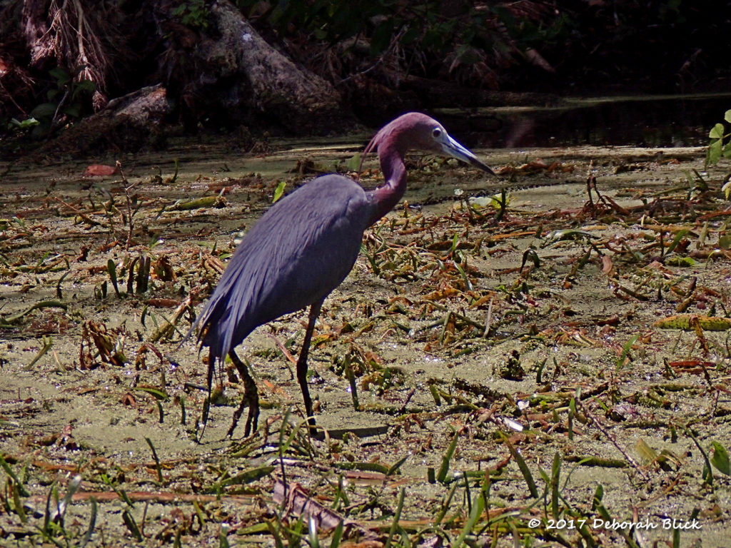 An adult Little Blue Heron stalking amid the grasses