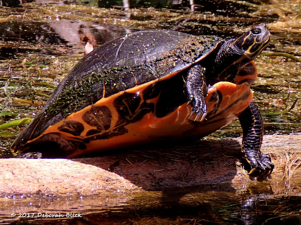 A Cooter drying his shell on a log in the sunshine