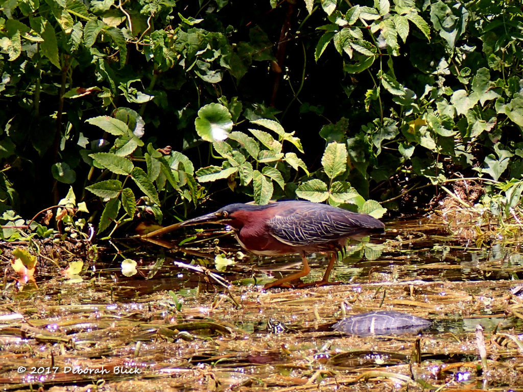 A Green Heron, with its short legs, sticks near the shoreline