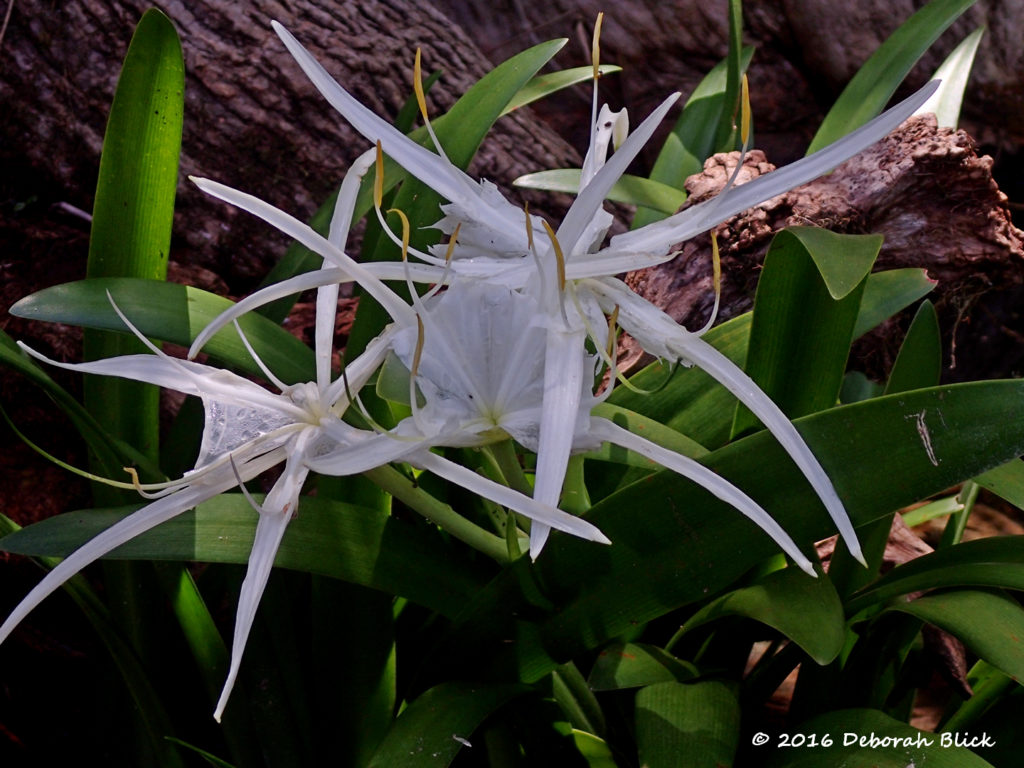 String Lily - also called Swamp Lily (Crinum americanum)