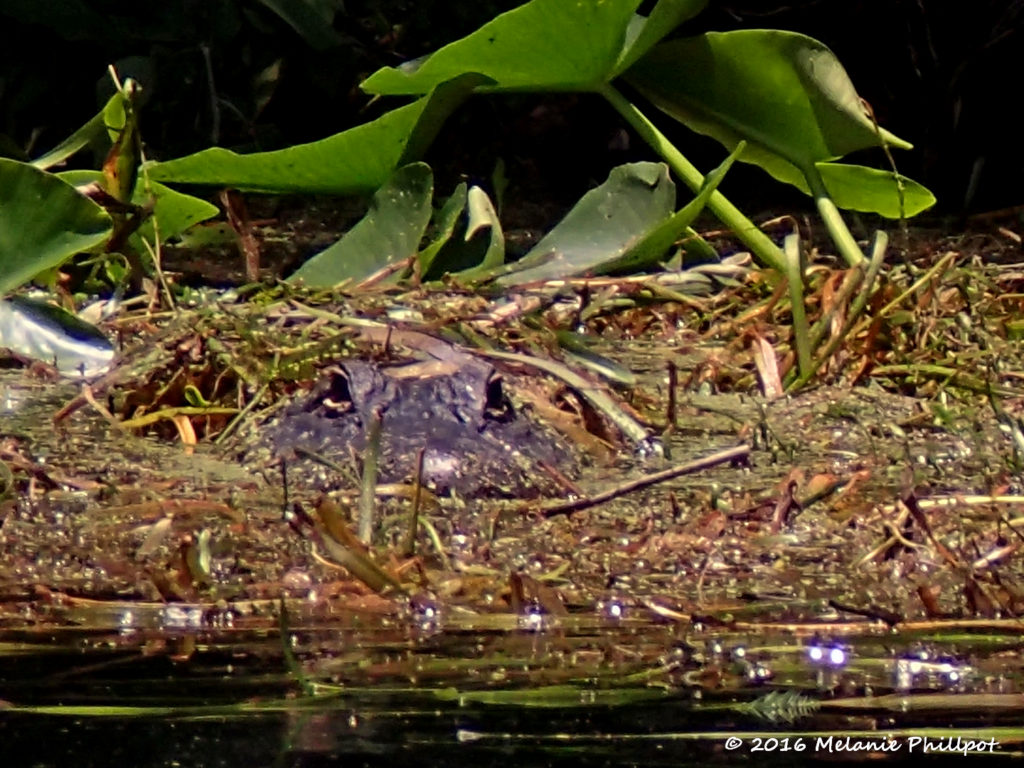 Little gator in the weeds