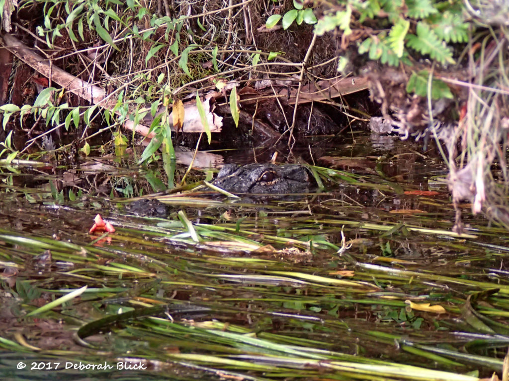 A little gator peeking at me from the weeds