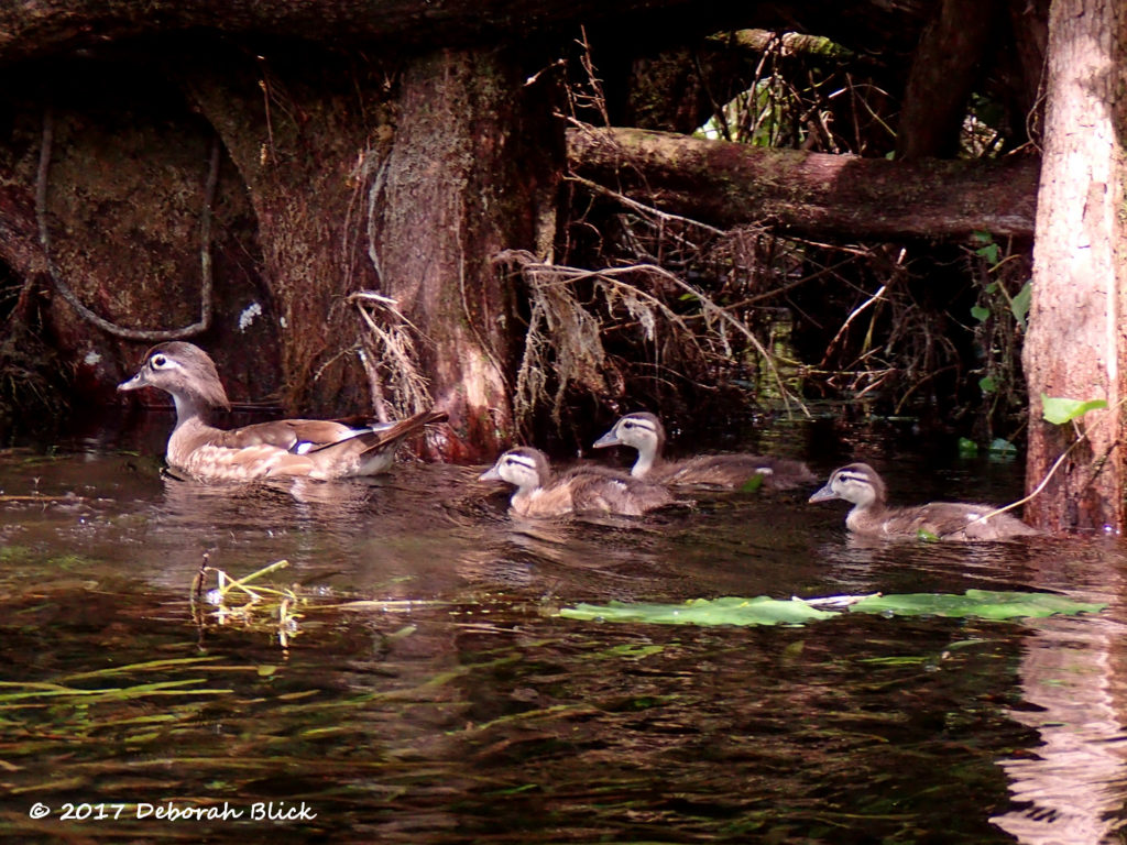 Mamma Wood Duck and babies