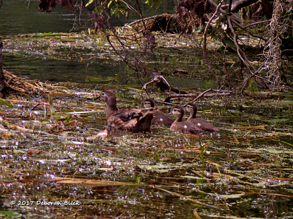 Mamma Wood Duck (Aix sponsa) and babies