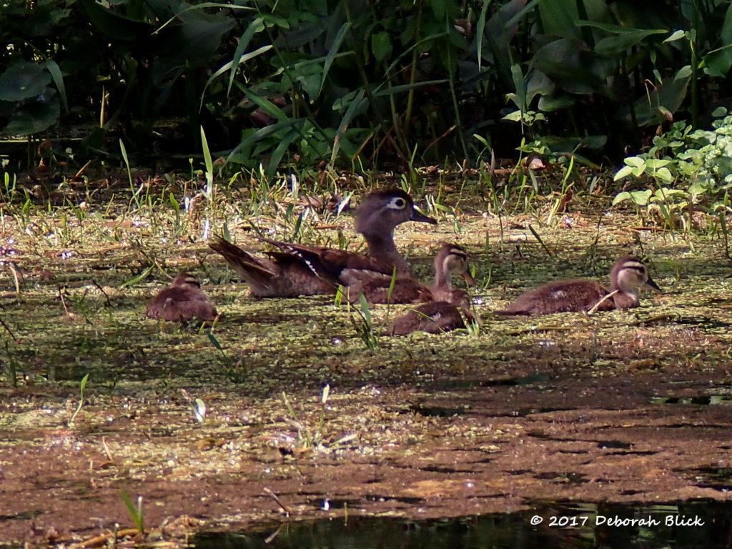 Mamma Wood Duck (Aix sponsa) with babies