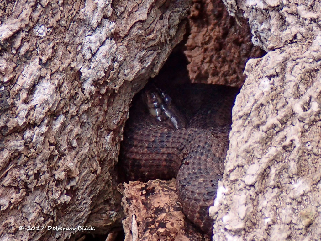 Brown Watersnake curled up inside a tree