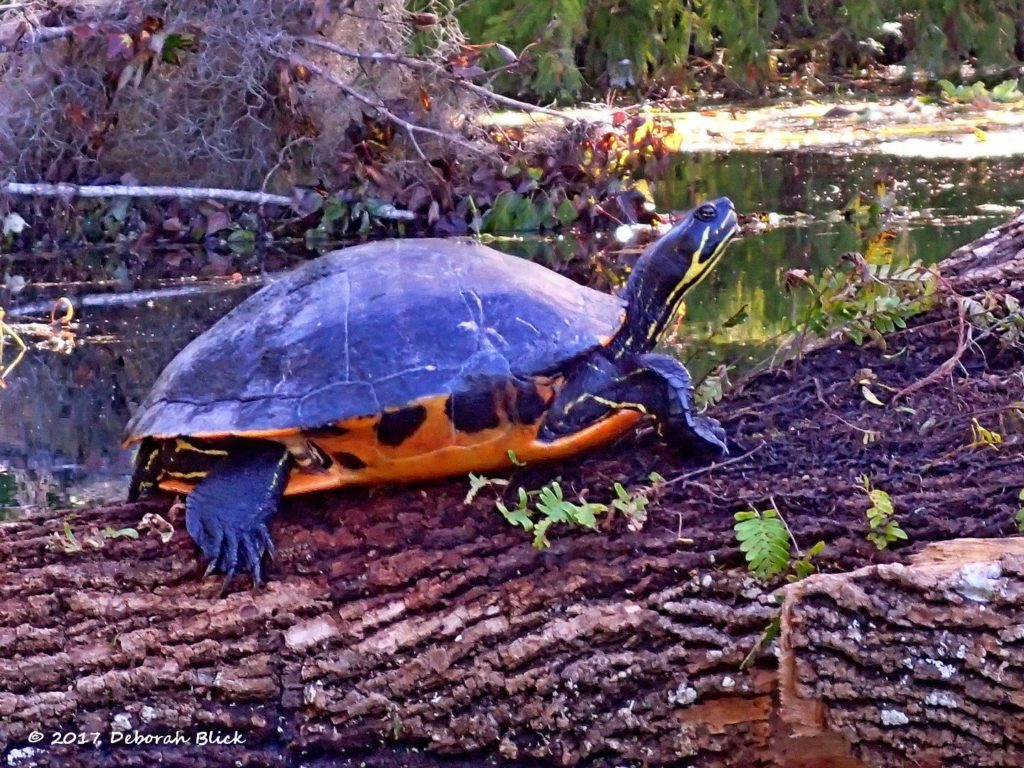 Florida Cooter sunning on a log