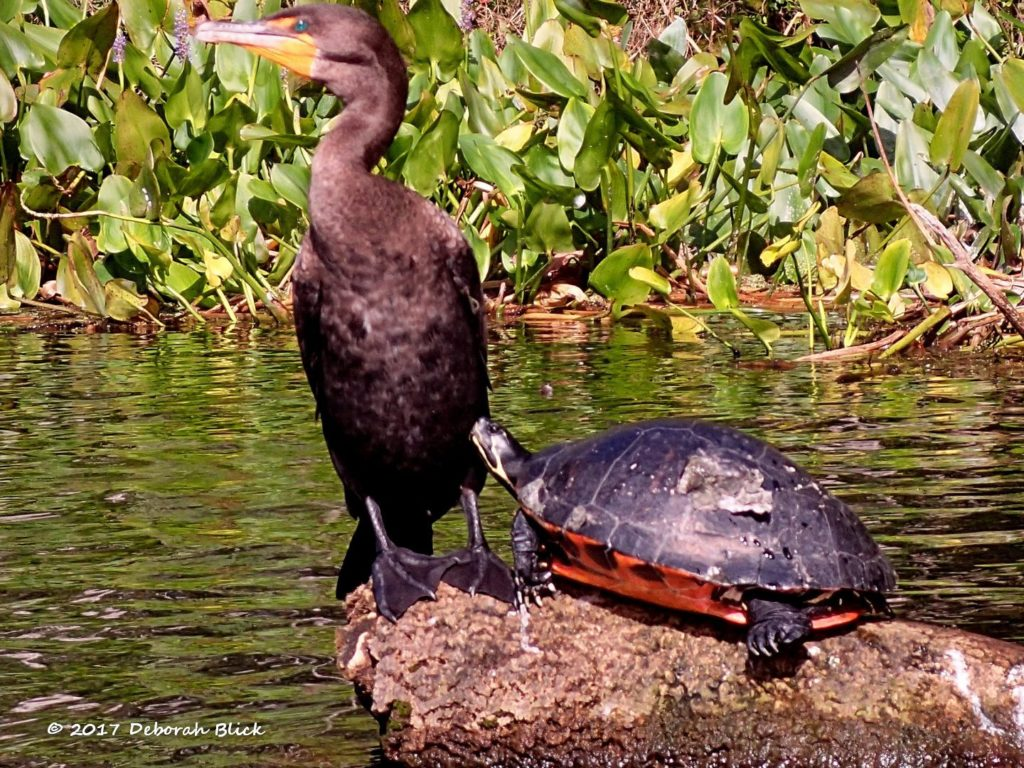 Cormorant and Cooter