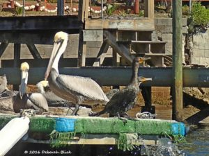 Brown Pelicans (Pelecanus occidentalis) and Double-crested Cormorants (Phalacrocorax auritus) sheltering on the docks.