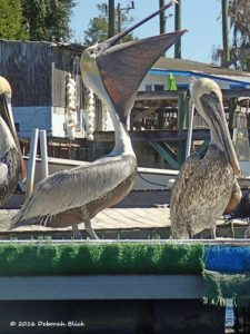 Brown Pelicans (Pelecanus occidentalis) hoping for a fishy handout in the port.