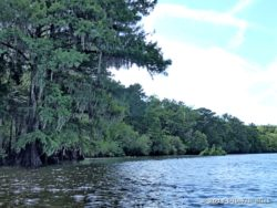 Cypress trees with Spanish moss along the Suwannee