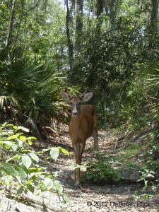 White-tailed deer, Suwannee River