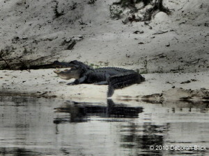 Adult gator, alligator, Suwannee River