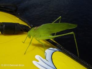 Katydid, Florida False Katydid, Santa Fe River