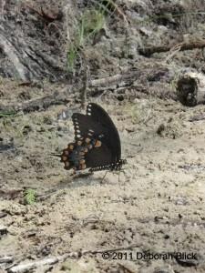 Butterfly, Black Swallowtail, puddling, Suwannee River