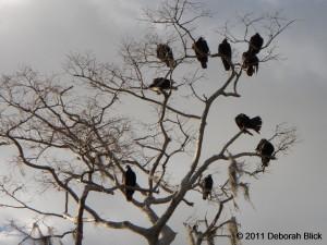 Vultures, Suwannee River