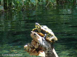 Yellow-bellied Slider, Suwannee River
